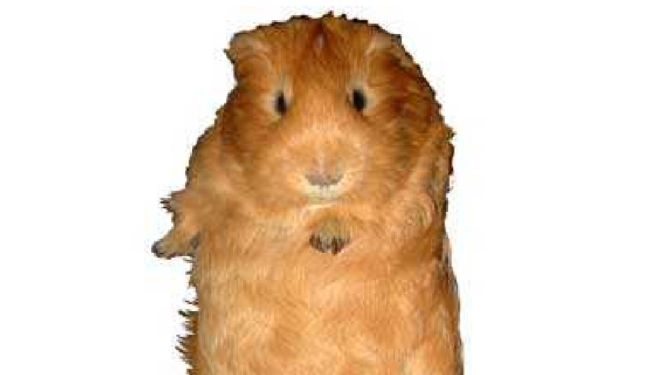 The Guinea Pig Way